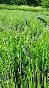 20140610ラベンダーおかむらさきの花穂1