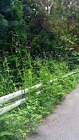 20140611峠道のアザミの花