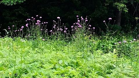 20140613アザミの花