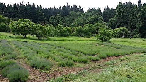 20140612ラベンダーの畑1