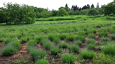 20140612ラベンダーの畑2