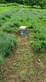 20140614早咲きラベンダーの列の草取り1