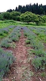 20140614早咲きラベンダーの列の草取り3