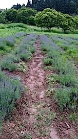 20140614早咲きラベンダーの列の草取り4