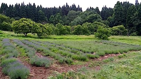 20140614ラベンダーの畑3