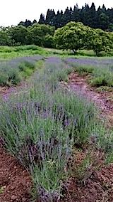20140614早咲きラベンダーの列の草取り5