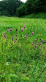 20140615アザミの花