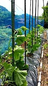 20140616野菜畑の支柱立て1