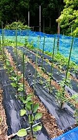 20140616野菜畑の支柱立て2