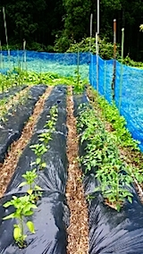 20140616野菜畑の支柱立て3