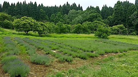 20140616ラベンダーの畑1