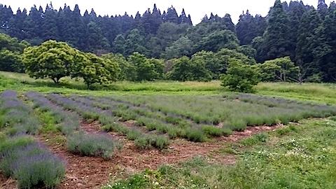 20140616ラベンダーの畑2