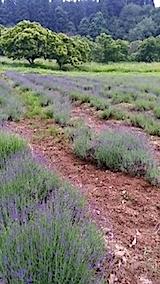 20140616草取り途中のラベンダー畑2
