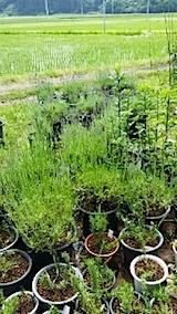 20140617鉢植えのラベンダーとローズマリー