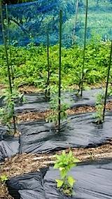 20140617野菜畑