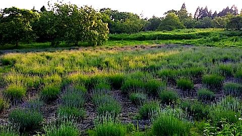 20140617ラベンダーの畑1