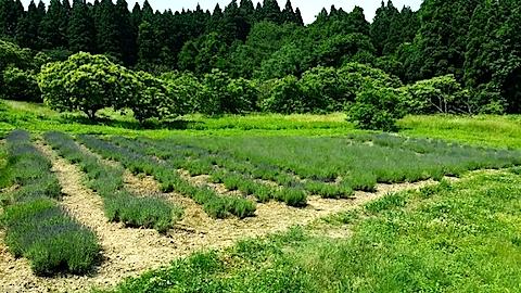 20140618ラベンダーの畑4