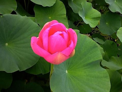20140704会津美里町龍興寺古代蓮の花2