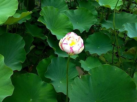 20140704会津美里町龍興寺古代蓮の花3