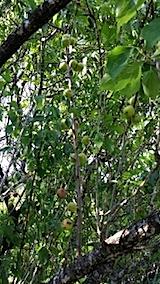 20140705梅の収穫1