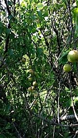 20140705梅の収穫2
