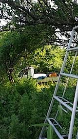 20140705梅の収穫3