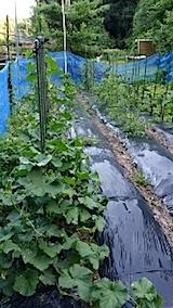 20140705野菜の畑