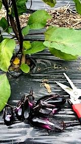 20140707野菜畑でナスの収穫