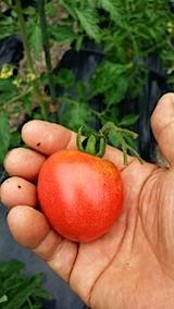 20140707野菜畑でトマトの収穫