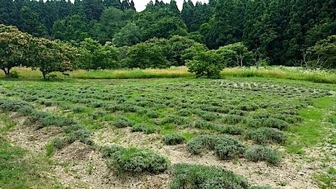 20140707ラベンダーの畑1