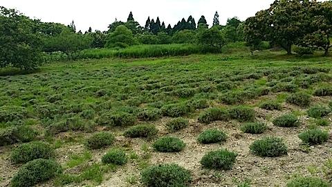 20140707ラベンダーの畑2