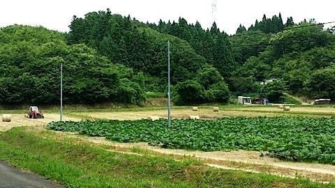 20140707峠道を下ったカボチャ畑の様子