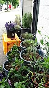 20140707お店の前の鉢植えラベンダーの刈り込み2