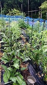 20140709野菜畑