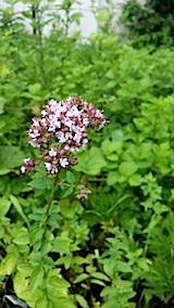 20140709オレガノの花