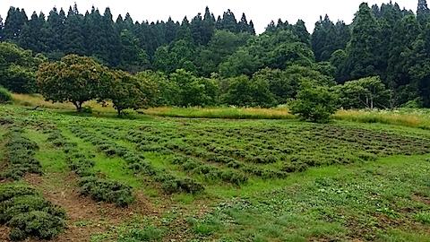 20140709ラベンダーの畑1