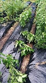 20140710野菜畑のピーマンが