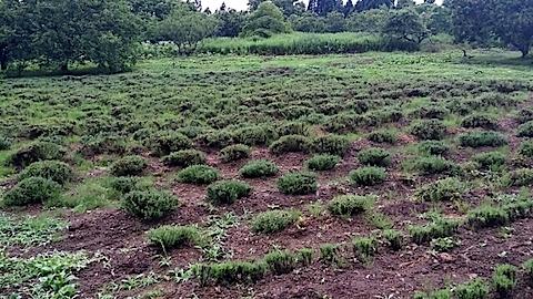 20140710ラベンダーの畑2