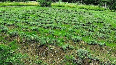 20140711ラベンダーの畑1
