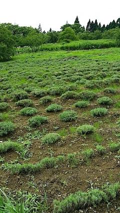 20140711ラベンダーの畑3