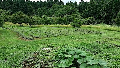 20140711ラベンダーの畑4