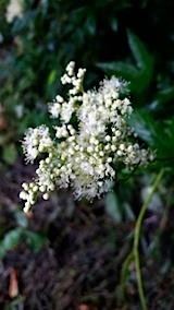 20140713西洋ナツユキ草の花