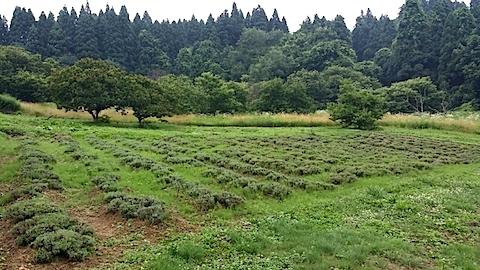 20140713ラベンダーの畑1