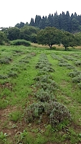20140713ラベンダー畑の様子1