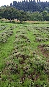 20140713ラベンダー畑の様子2