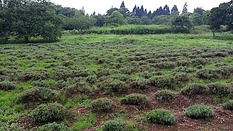 20140713ラベンダーの畑2