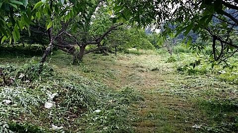 20140713昨日草刈りの済んだ場所の様子