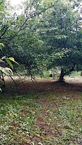 20140713スモモの木と栗の木