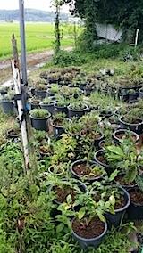 20140714鉢植えへ水やり