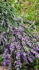 20140714ラベンダーの花収穫